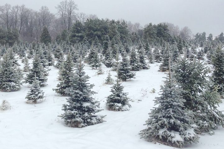 Find your Tree in Toronto –  Holiday Rituals that Give Back